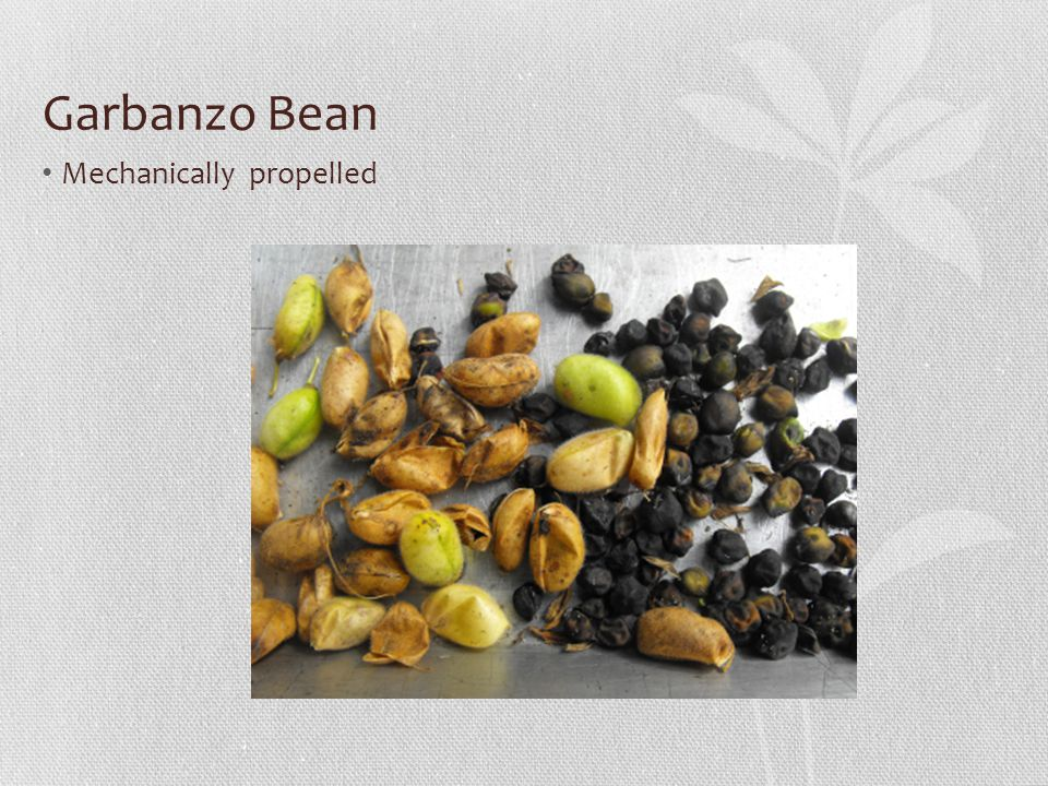 Garbanzo Bean Mechanically propelled