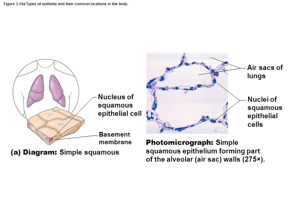 Figure 3.18a Types of epithelia and their common locations in the body. Nucleus of squamous epithelial cell Basement membrane Air sacs of lungs Nuclei