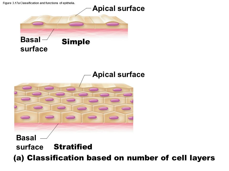 Figure 3.17a Classification and functions of epithelia. Basal surface Apical surface Basal surface Apical surface Simple Stratified (a) Classification