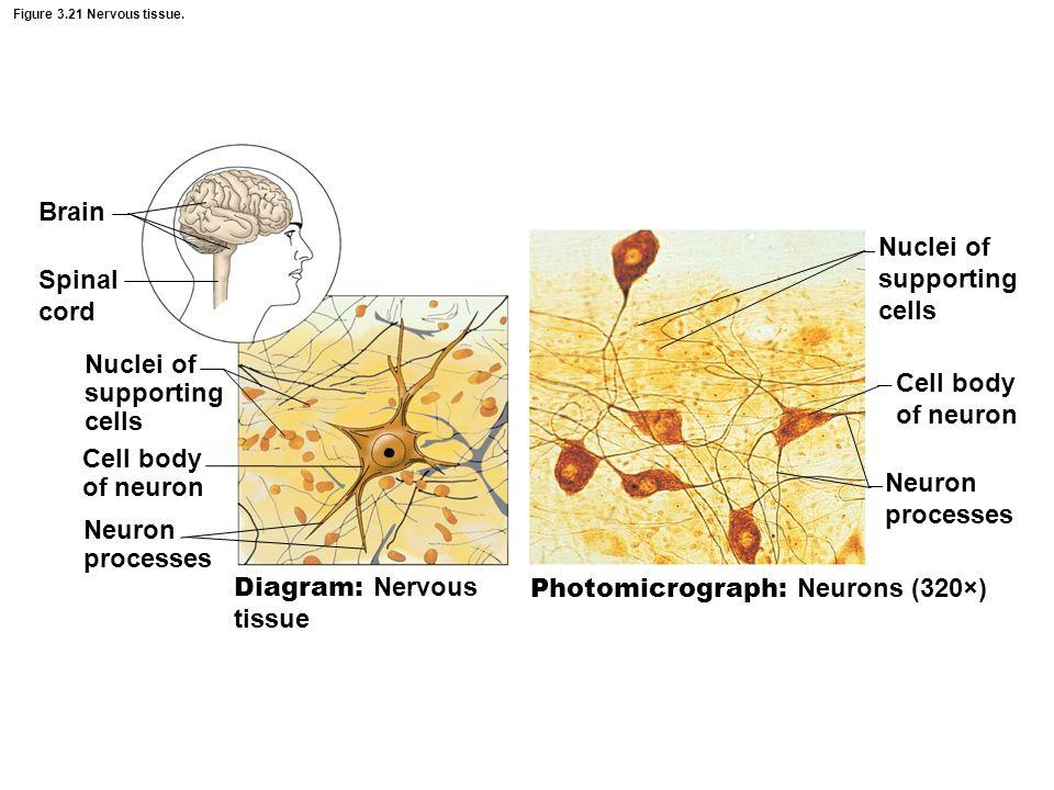 of neuron Diagram Nervous Cytoplasm Diagram