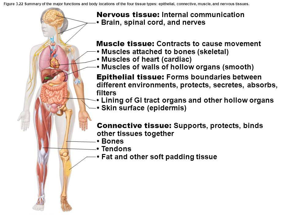 Figure 3.22 Summary of the major functions and body locations of the four tissue types: epithelial, connective, muscle, and nervous tissues. Nervous t