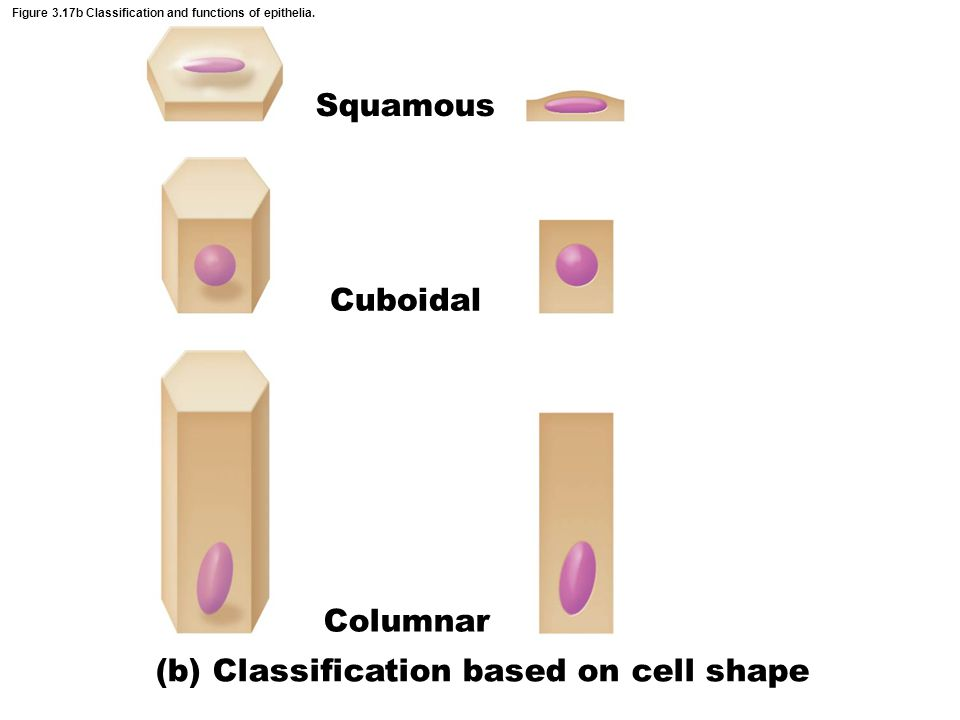 Figure 3.18e Types of epithelia and their common locations in the body.