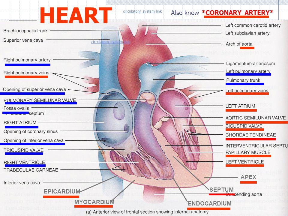 HEART APEX EPICARDIUM MYOCARDIUM ENDOCARDIUM Also know *CORONARY ARTERY* SEPTUM circulatory system link