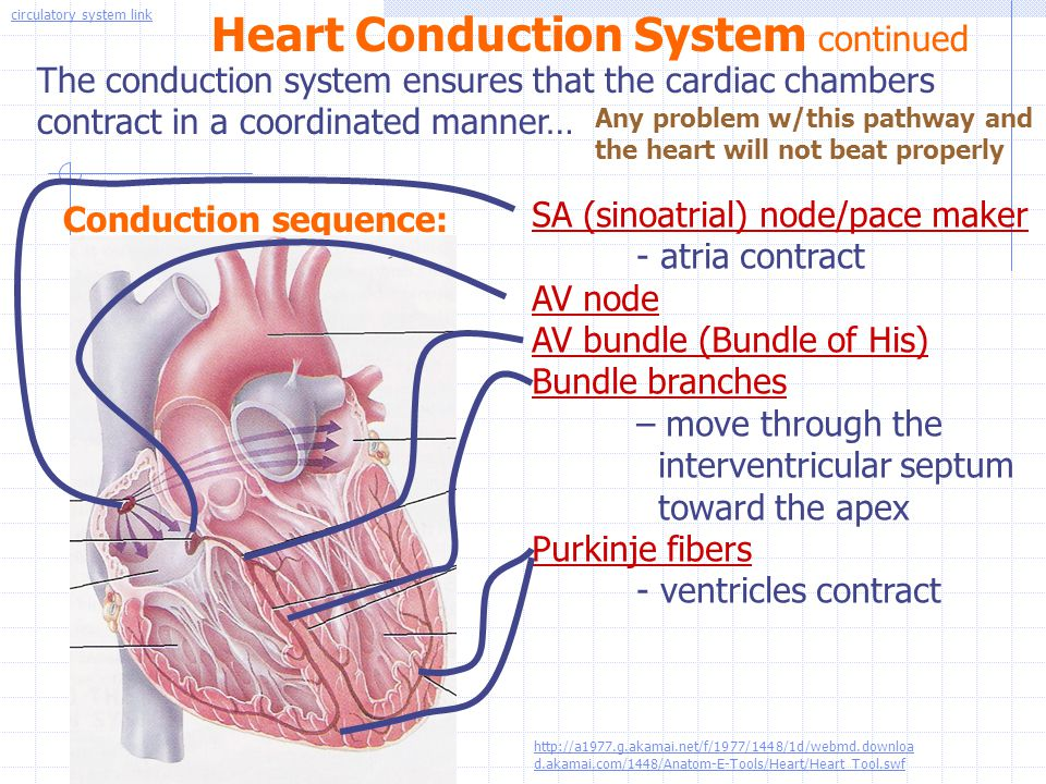 Heart Conduction System continued The conduction system ensures that the cardiac chambers contract in a coordinated manner… Conduction sequence: SA (s