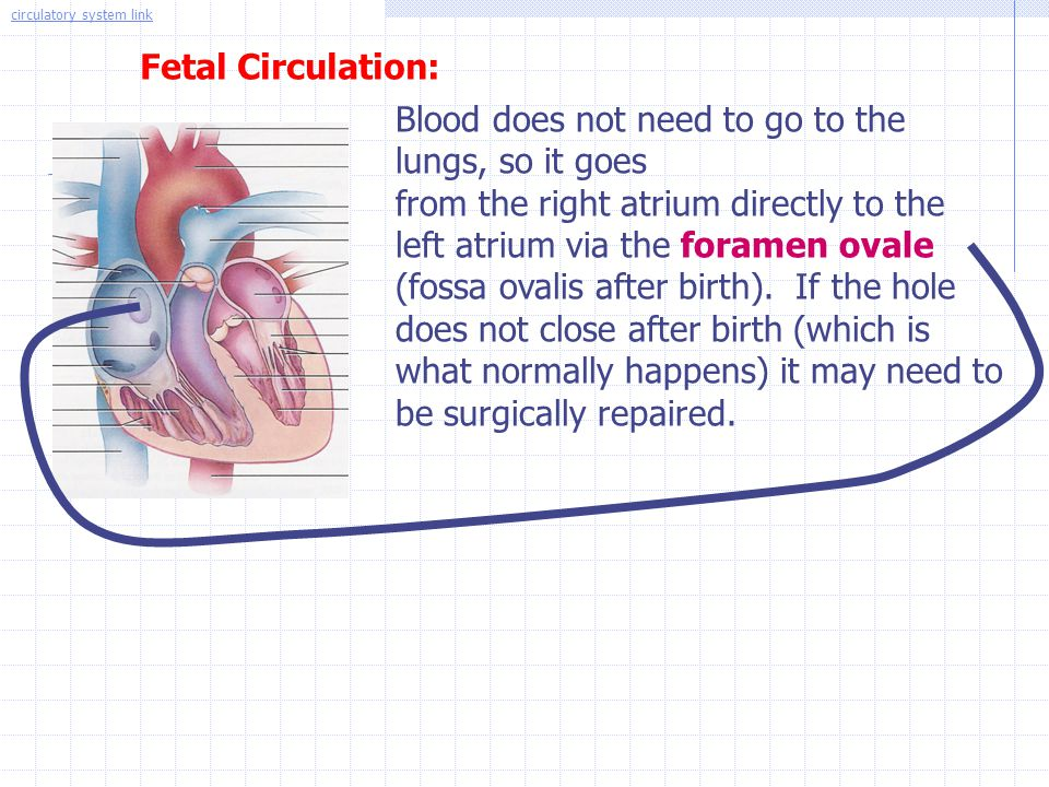 Fetal Circulation: Blood does not need to go to the lungs, so it goes from the right atrium directly to the left atrium via the foramen ovale (fossa o