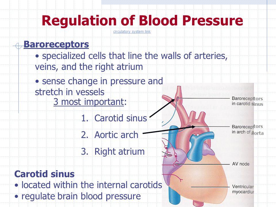 Regulation of Blood Pressure Baroreceptors Carotid sinus located within the internal carotids regulate brain blood pressure tors inus tors aorta speci