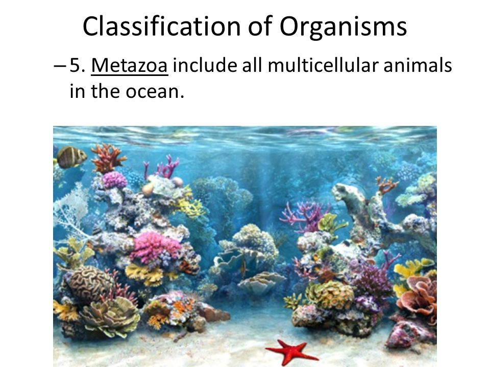 Classification of Organisms – 5. Metazoa include all multicellular animals in the ocean.