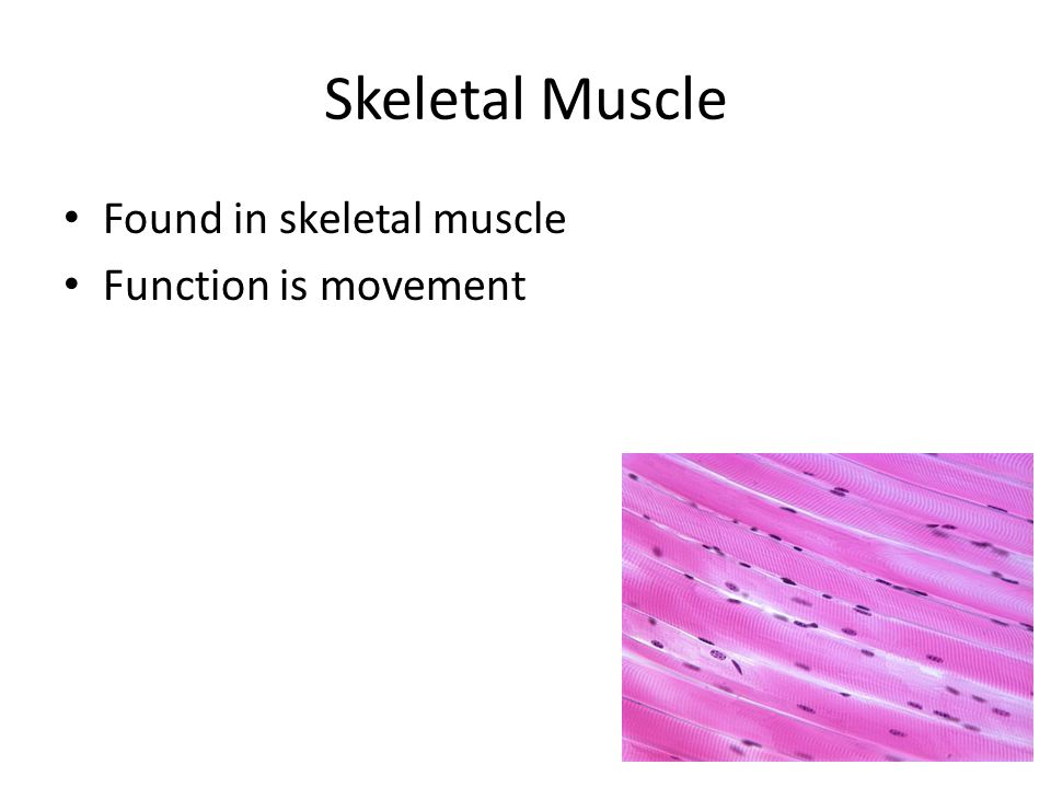 Skeletal Muscle Found in skeletal muscle Function is movement