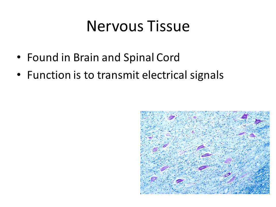 Nervous Tissue Found in Brain and Spinal Cord Function is to transmit electrical signals