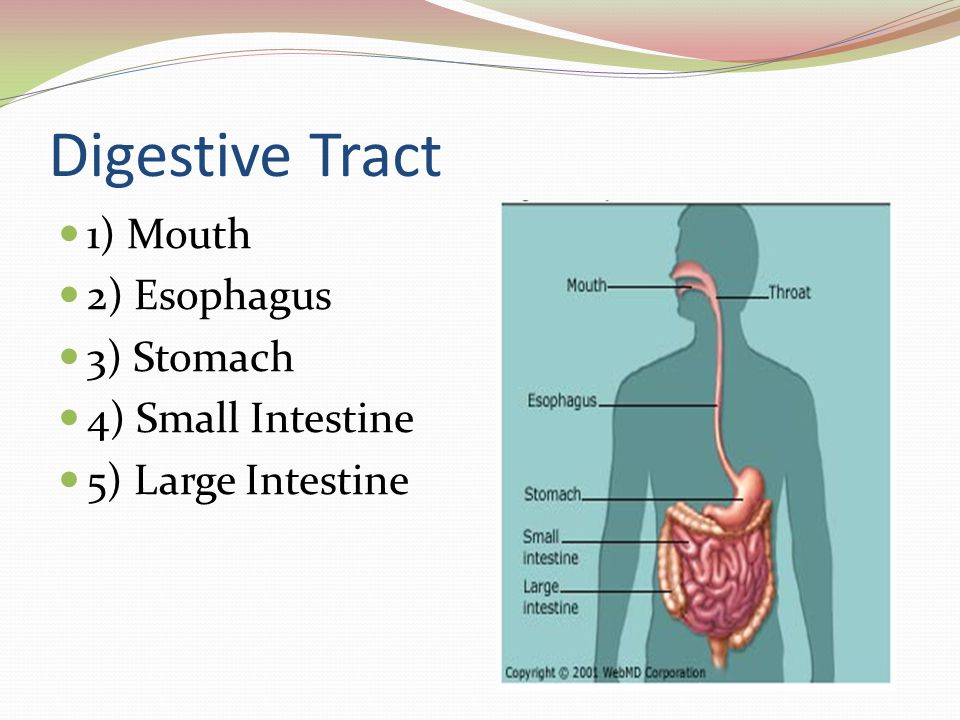 Digestive Tract 1) Mouth 2) Esophagus 3) Stomach 4) Small Intestine 5) Large Intestine