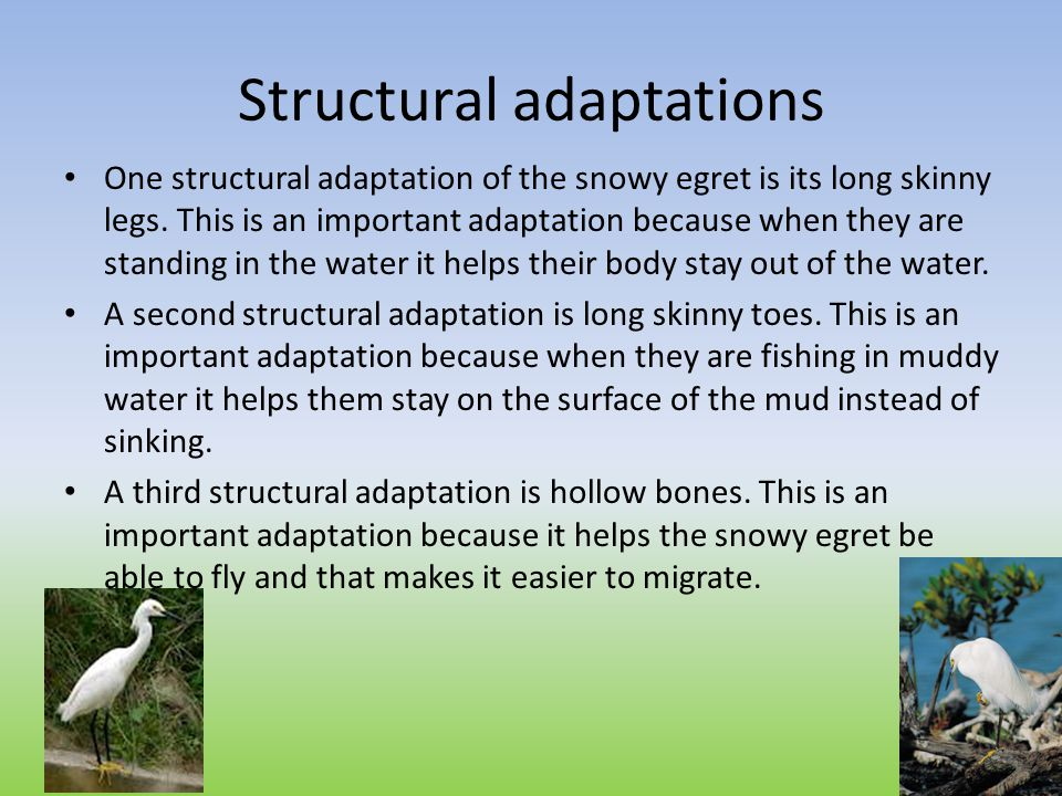 Structural adaptations One structural adaptation of the snowy egret is its long skinny legs. This is an important adaptation because when they are sta