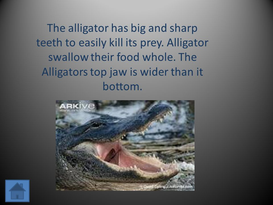 The alligator has big and sharp teeth to easily kill its prey.