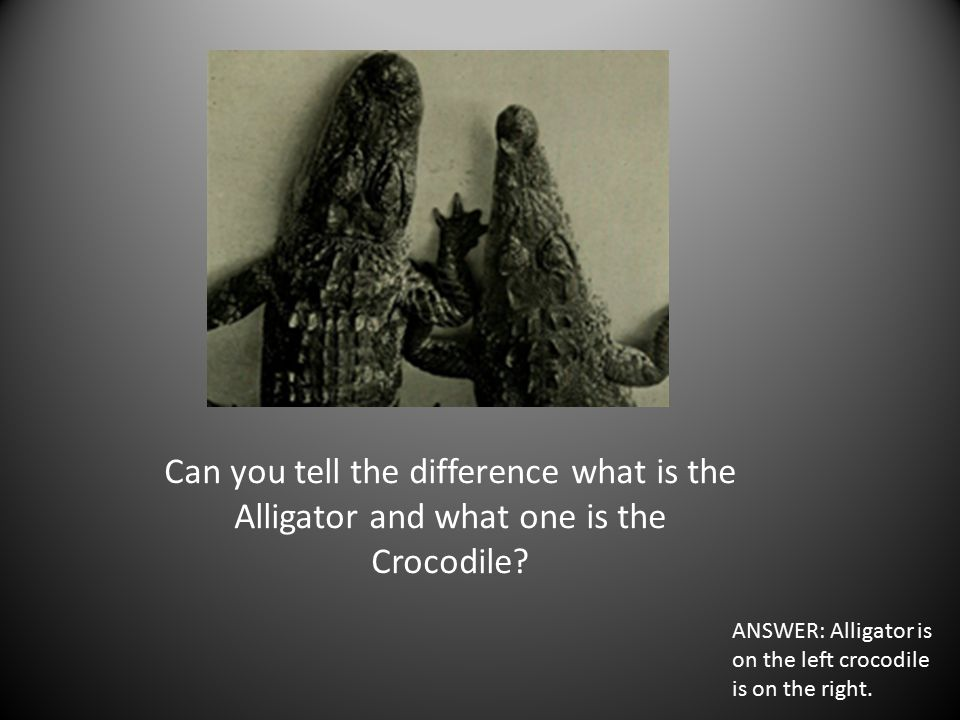 Can you tell the difference what is the Alligator and what one is the Crocodile.