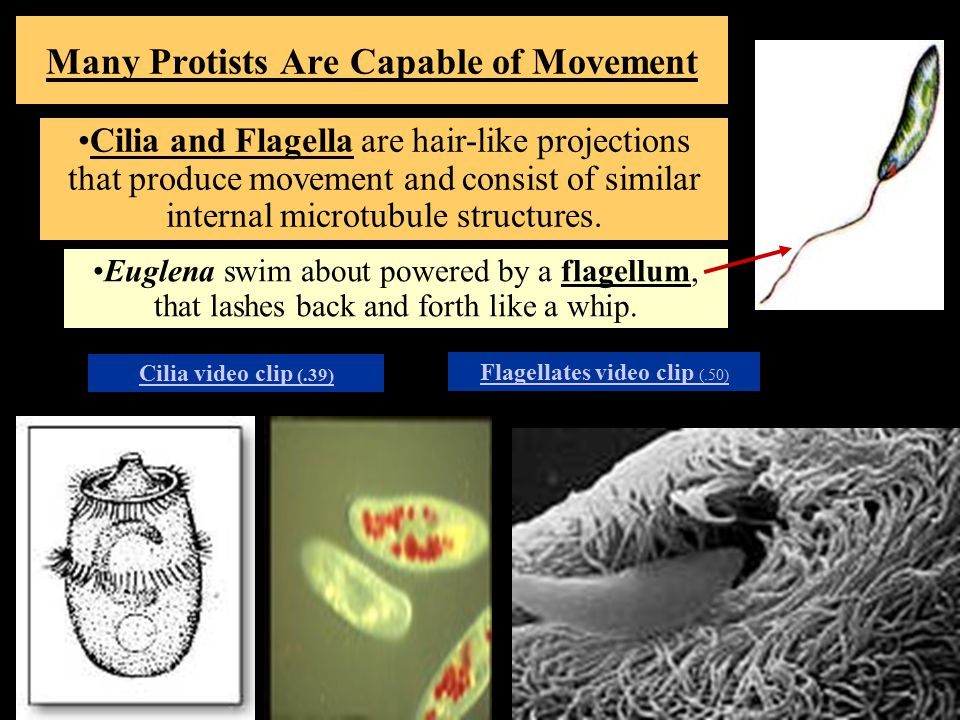 Many Protists Are Capable of Movement Cilia and Flagella are hair-like projections that produce movement and consist of similar internal microtubule structures.