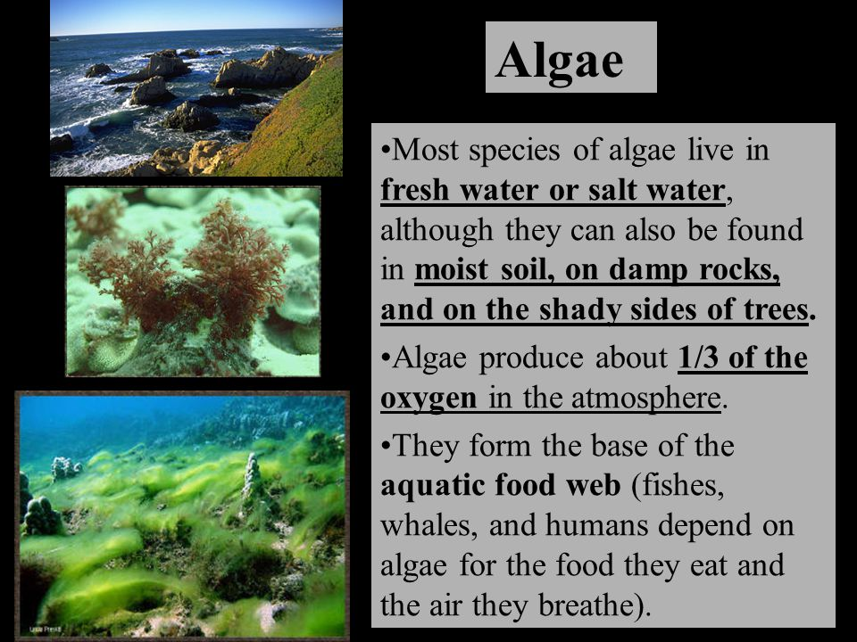 Algae Most species of algae live in fresh water or salt water, although they can also be found in moist soil, on damp rocks, and on the shady sides of trees.