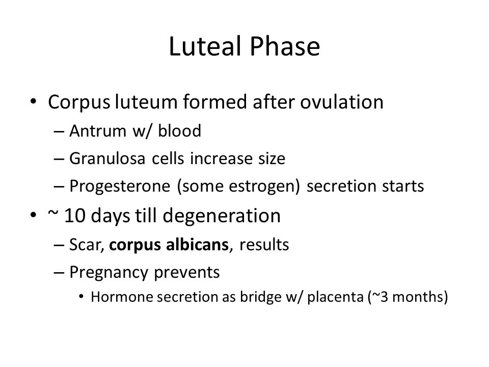 Luteal Phase Corpus luteum formed after ovulation – Antrum w/ blood – Granulosa cells increase size – Progesterone (some estrogen) secretion starts ~ 10 days till degeneration – Scar, corpus albicans, results – Pregnancy prevents Hormone secretion as bridge w/ placenta (~3 months)