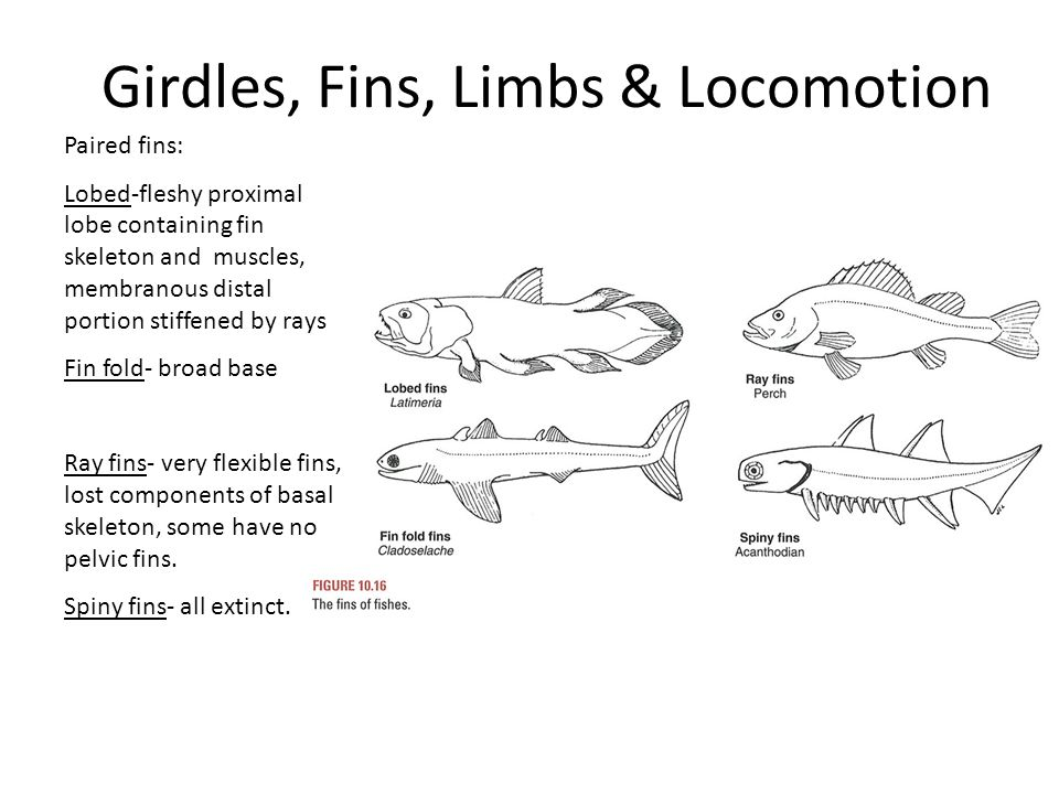 Girdles, Fins, Limbs & Locomotion Paired fins: Lobed-fleshy proximal lobe containing fin skeleton and muscles, membranous distal portion stiffened by