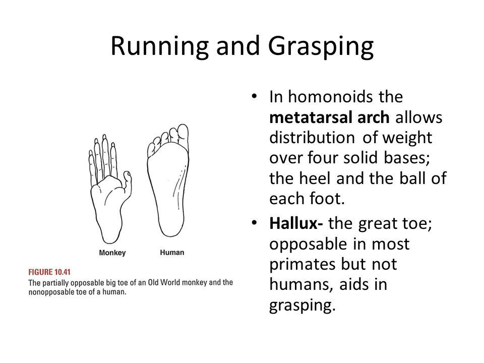 Running and Grasping In homonoids the metatarsal arch allows distribution of weight over four solid bases; the heel and the ball of each foot. Hallux-