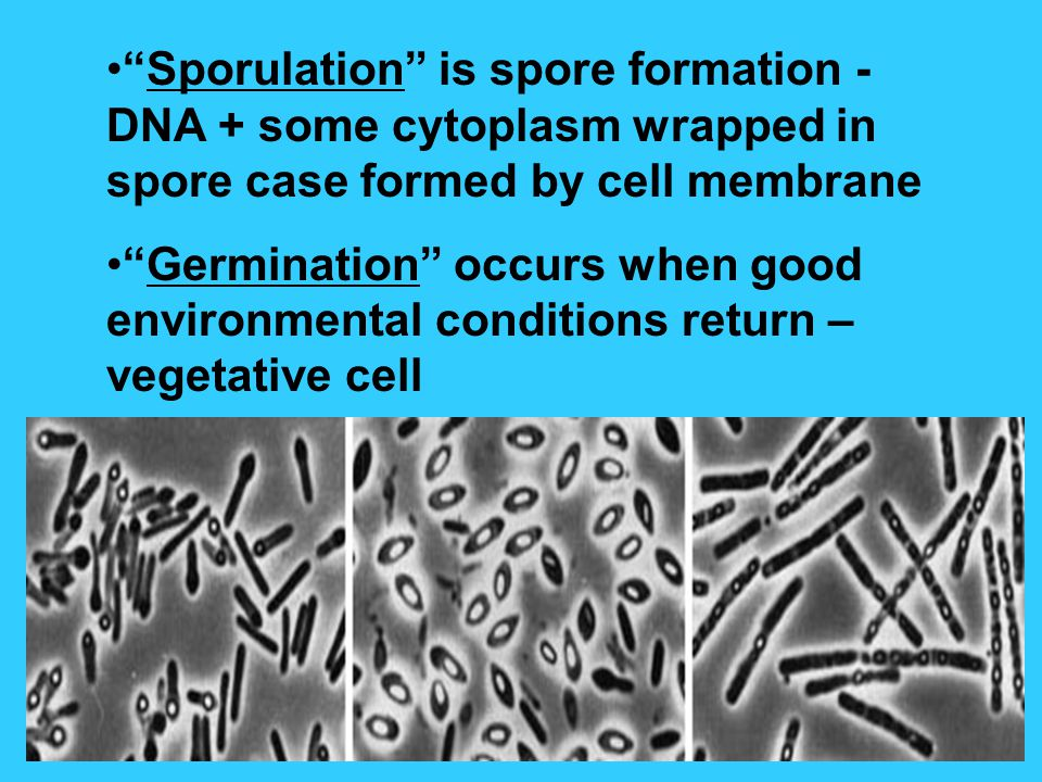 Sporulation is spore formation - DNA + some cytoplasm wrapped in spore case formed by cell membrane Germination occurs when good environmental conditions return – vegetative cell