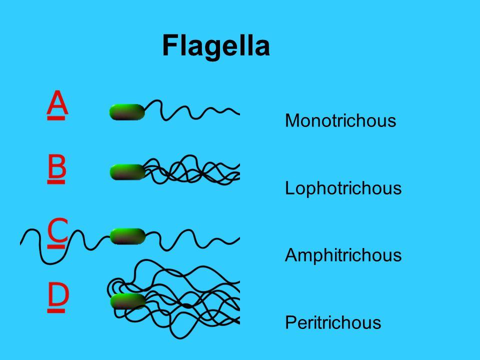 Flagella Monotrichous Lophotrichous Amphitrichous Peritrichous