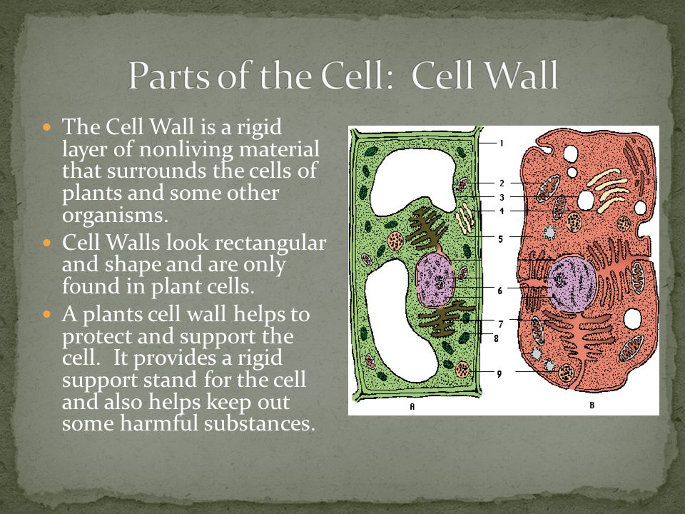 The Cell Wall is a rigid layer of nonliving material that surrounds the cells of plants and some other organisms. Cell Walls look rectangular and shap