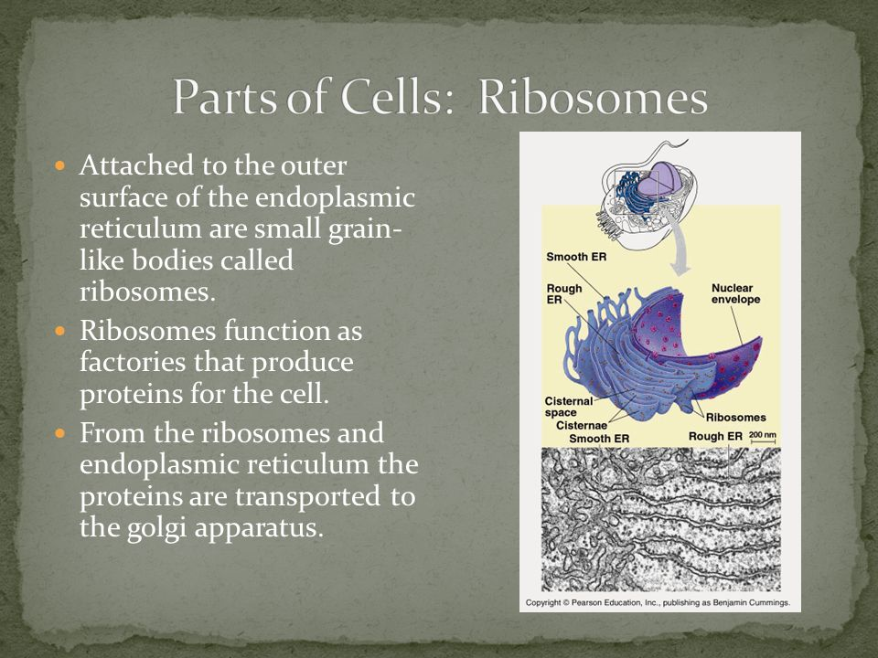 Attached to the outer surface of the endoplasmic reticulum are small grain- like bodies called ribosomes. Ribosomes function as factories that produce