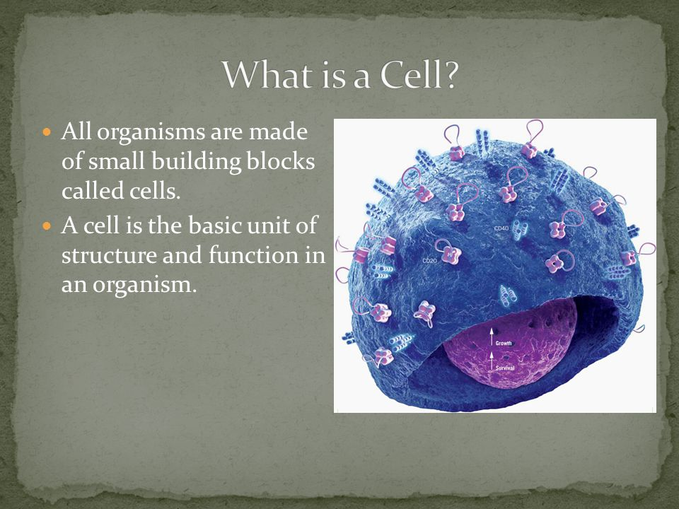 Throughout the cell you can find large water- filled sacs floating in the cytoplasm.