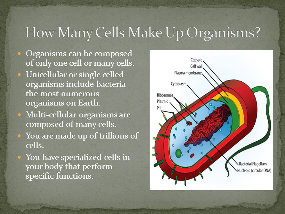 Organisms can be composed of only one cell or many cells. Unicellular or single celled organisms include bacteria the most numerous organisms on Earth