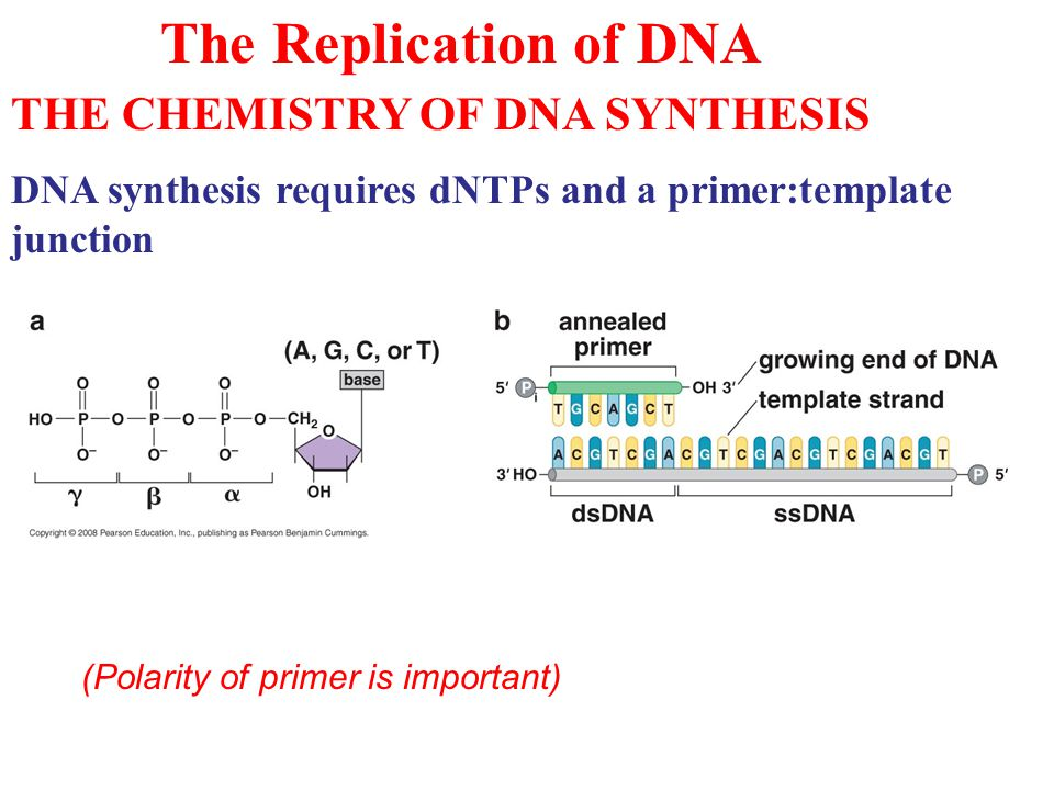 The Replication of DNA THE CHEMISTRY OF DNA SYNTHESIS DNA synthesis requires dNTPs and a primer:template junction (Polarity of primer is important)