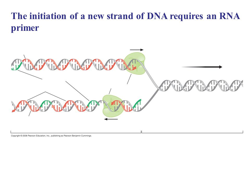 The initiation of a new strand of DNA requires an RNA primer