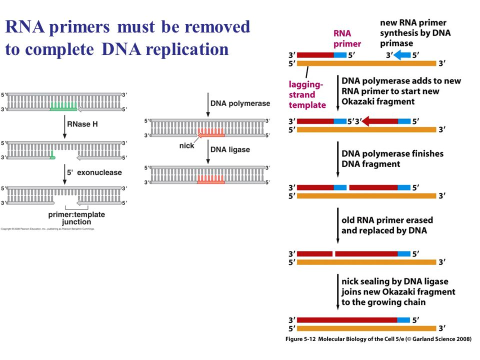 RNA primers must be removed to complete DNA replication