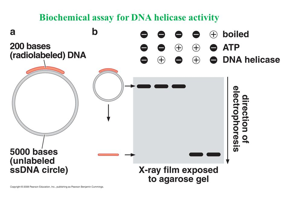 Biochemical assay for DNA helicase activity