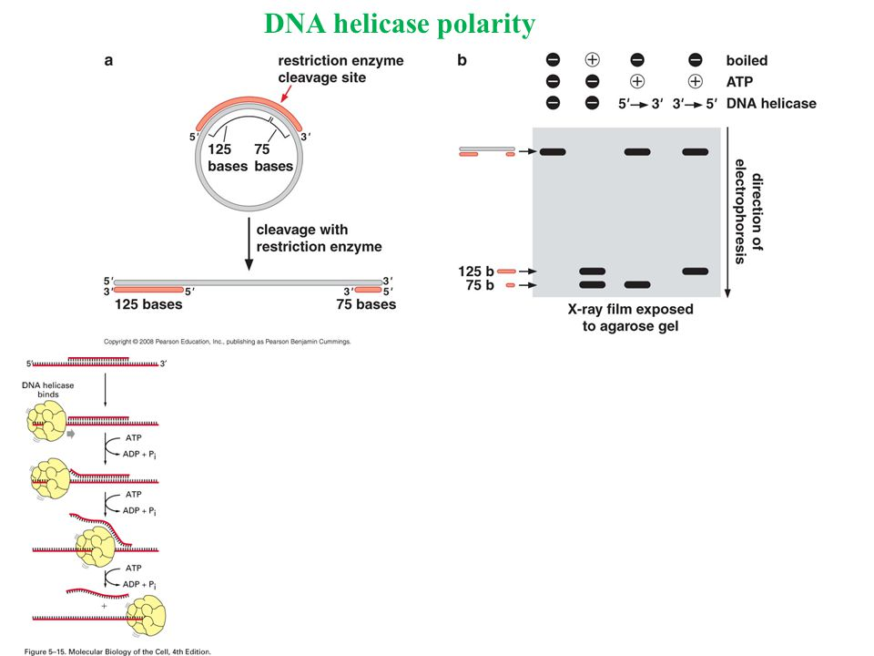 DNA helicase polarity