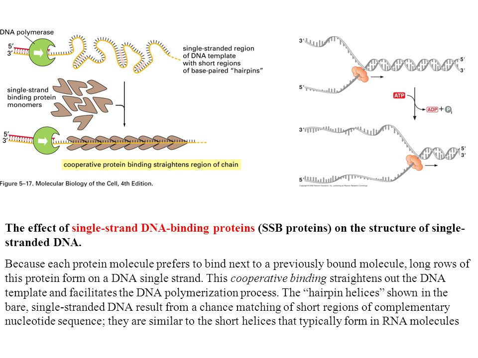 The effect of single-strand DNA-binding proteins (SSB proteins) on the structure of single- stranded DNA. Because each protein molecule prefers to bin