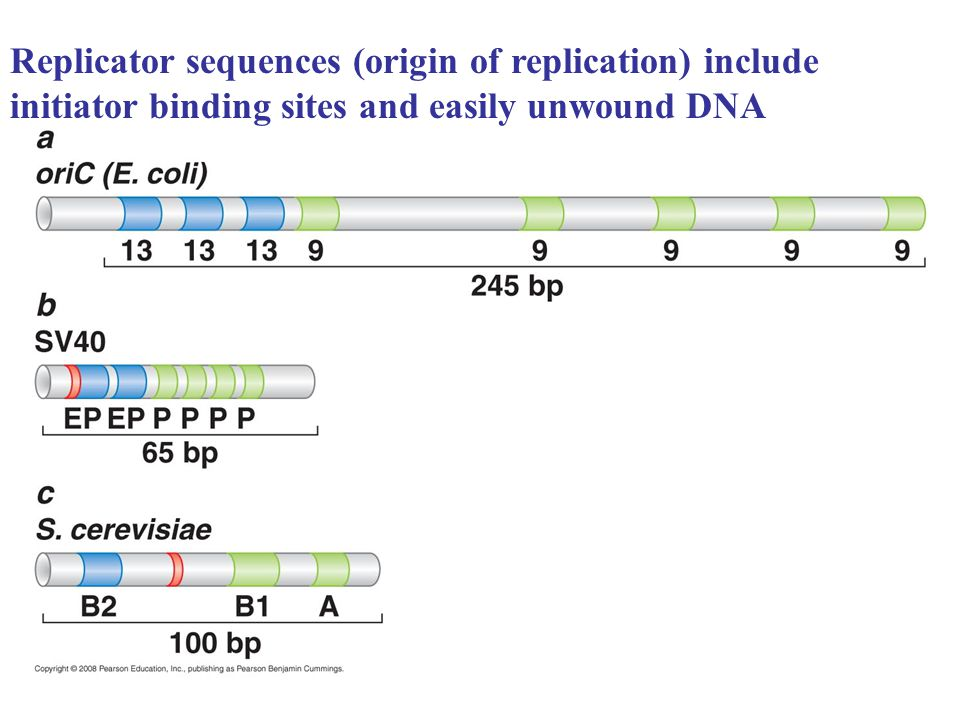 Replicator sequences (origin of replication) include initiator binding sites and easily unwound DNA
