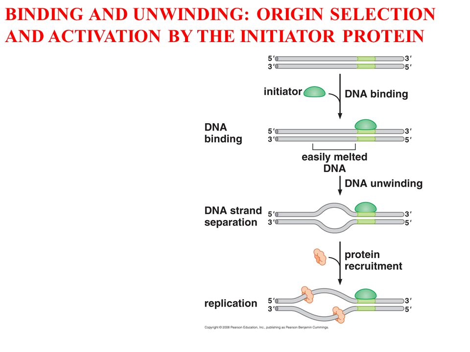BINDING AND UNWINDING: ORIGIN SELECTION AND ACTIVATION BY THE INITIATOR PROTEIN