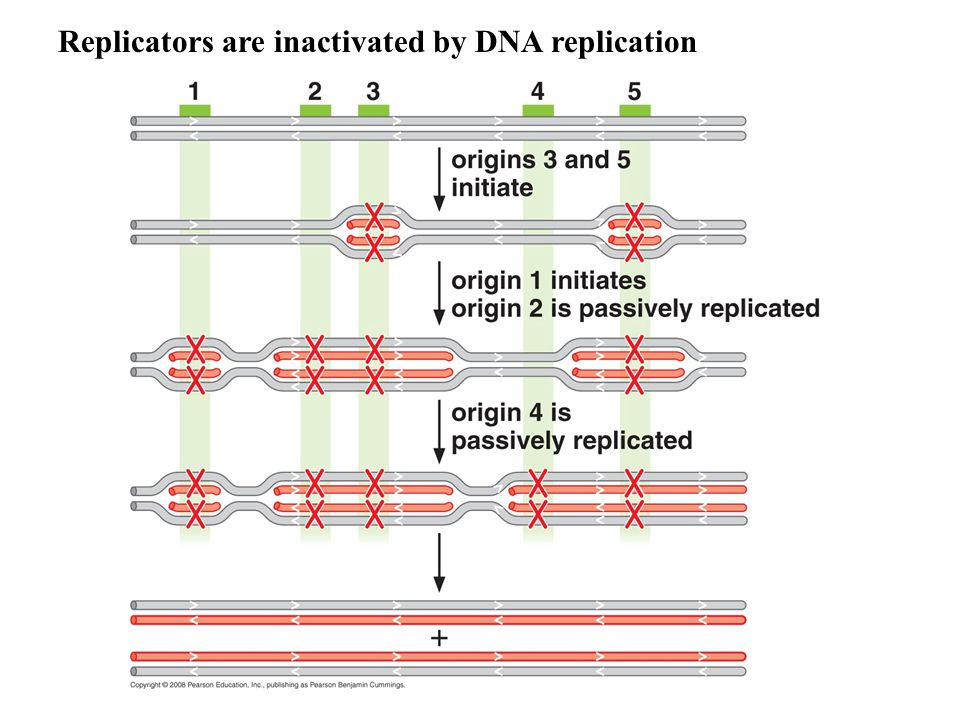 Replicators are inactivated by DNA replication