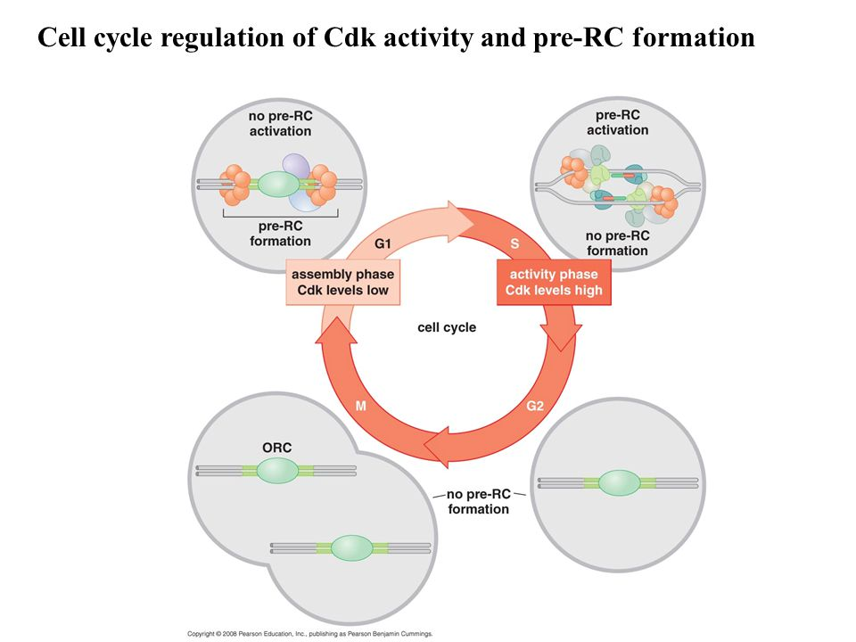 Cell cycle regulation of Cdk activity and pre-RC formation