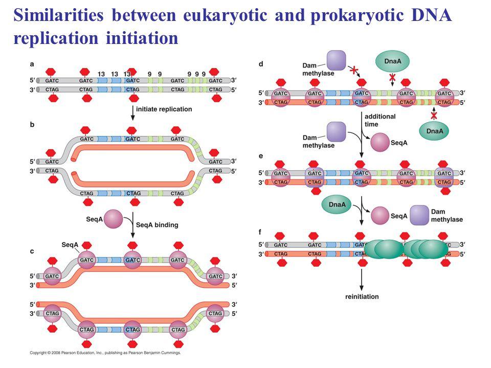 Similarities between eukaryotic and prokaryotic DNA replication initiation
