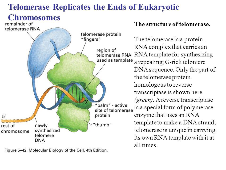 Telomerase Replicates the Ends of Eukaryotic Chromosomes The structure of telomerase. The telomerase is a protein– RNA complex that carries an RNA tem