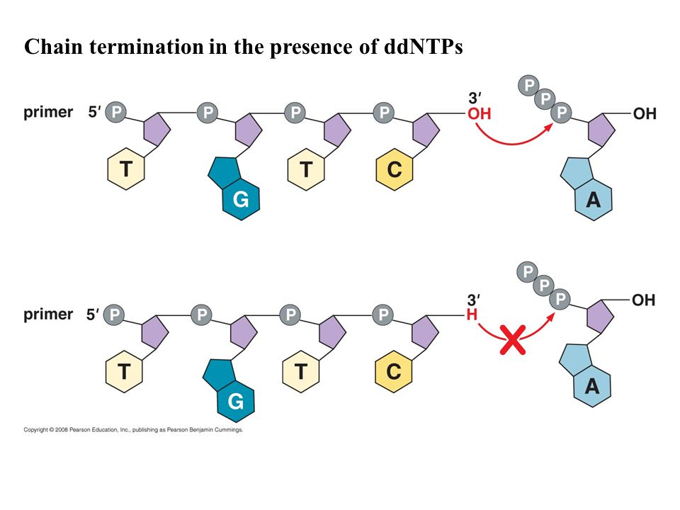 Chain termination in the presence of ddNTPs