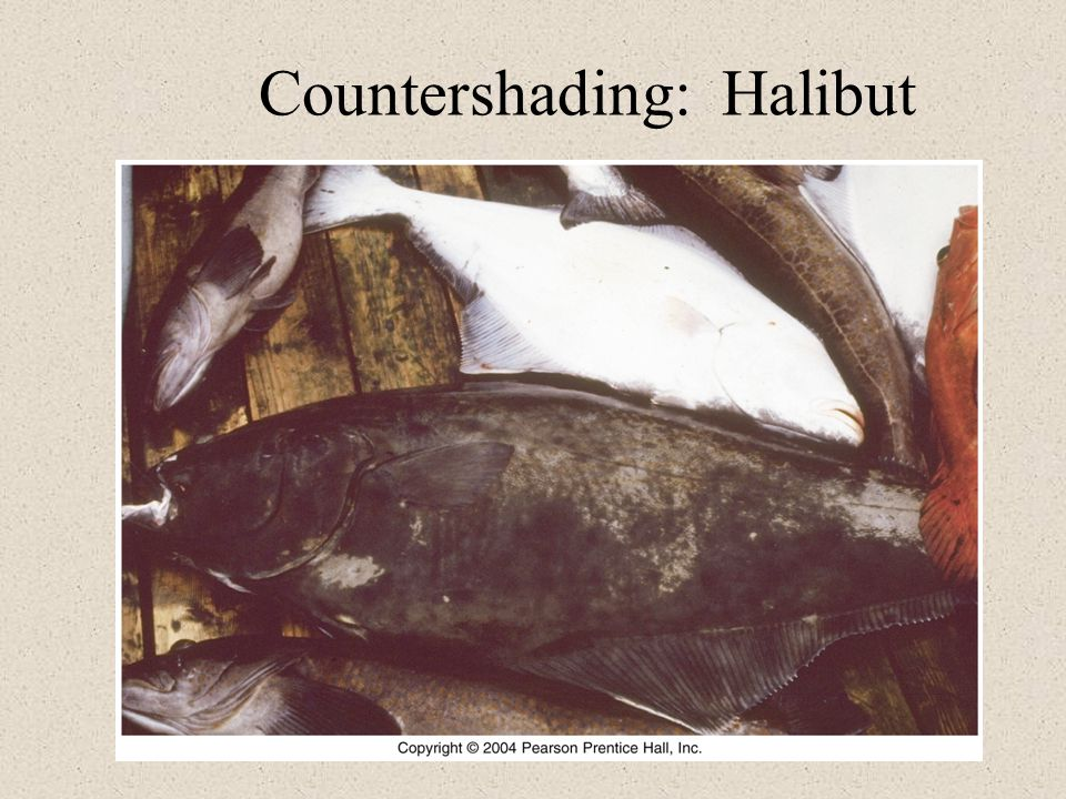 Countershading: Halibut