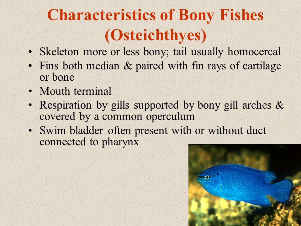 Characteristics of Bony Fishes (Osteichthyes) Skeleton more or less bony; tail usually homocercal Fins both median & paired with fin rays of cartilage