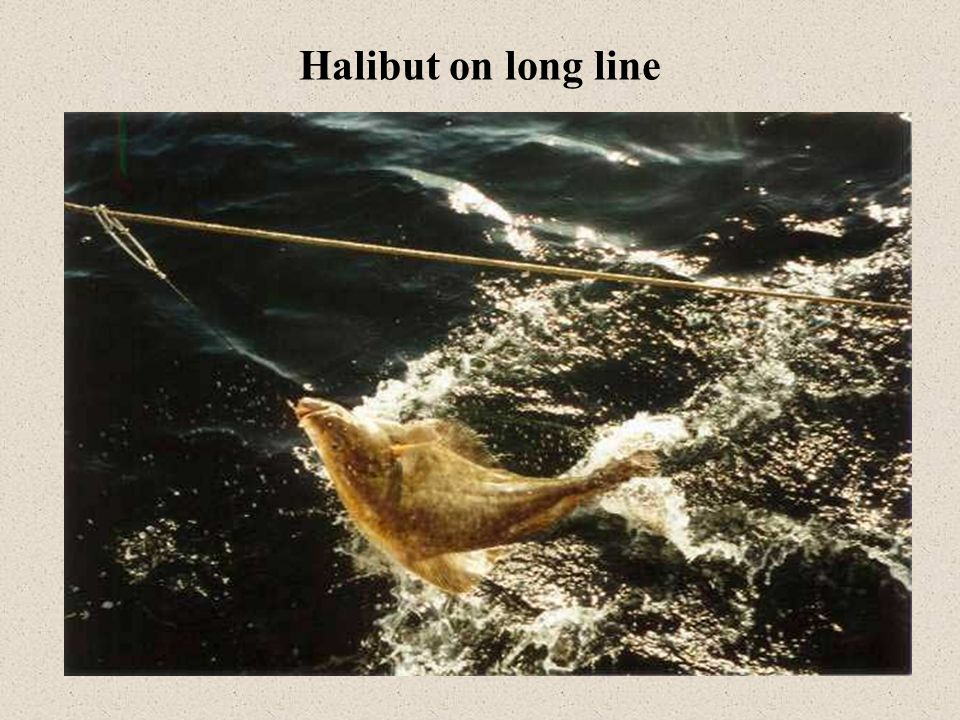 Halibut on long line