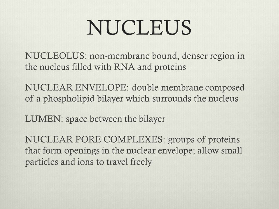 NUCLEUS NUCLEOLUS: non-membrane bound, denser region in the nucleus filled with RNA and proteins NUCLEAR ENVELOPE: double membrane composed of a phosp