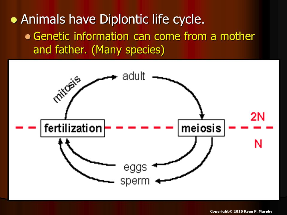 Animals have Diplontic life cycle. Animals have Diplontic life cycle. Genetic information can come from a mother and father. (Many species) Genetic in