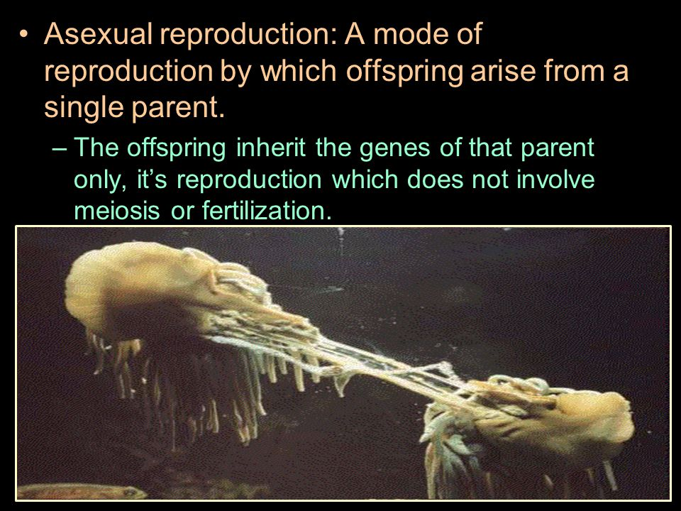 Asexual reproduction: A mode of reproduction by which offspring arise from a single parent. –The offspring inherit the genes of that parent only, it's