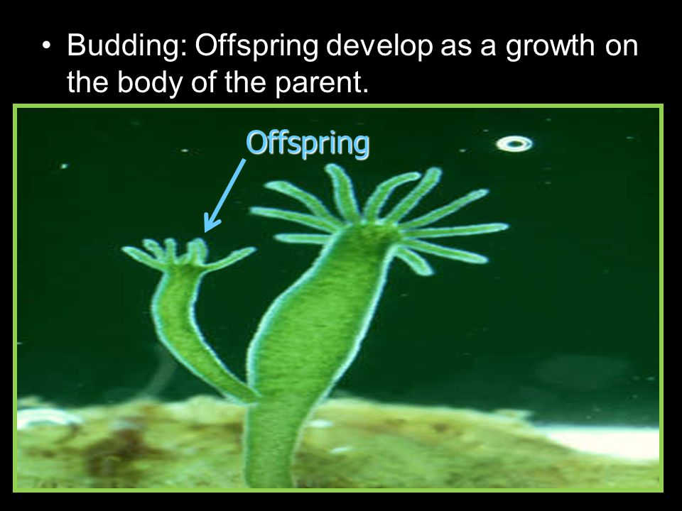 Budding: Offspring develop as a growth on the body of the parent. Offspring