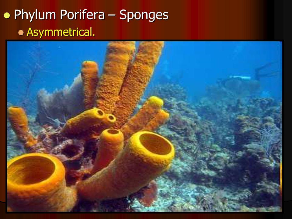 Phylum Porifera – Sponges Phylum Porifera – Sponges Asymmetrical. Asymmetrical.