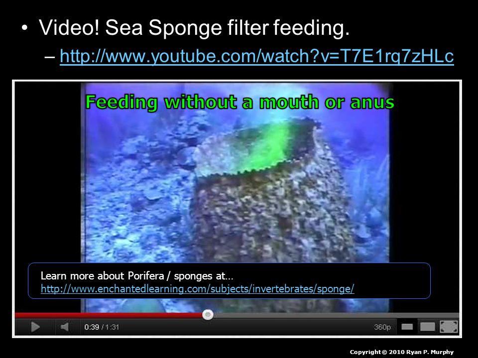 Video. Sea Sponge filter feeding.